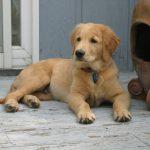 Henry_puppy