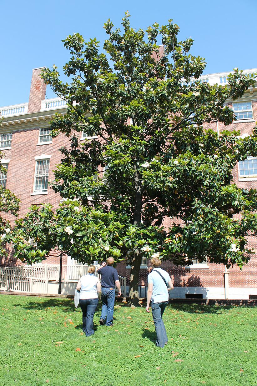There are many magnolia trees around Philadelphia historic sites.