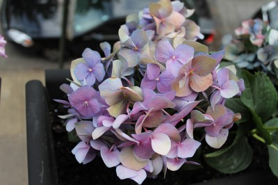 20120614_BalconyHydrangeas_03