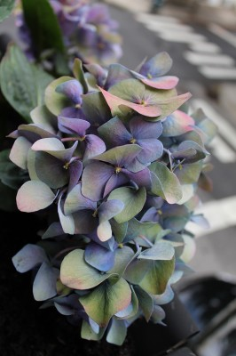 20120614_BalconyHydrangeas_04