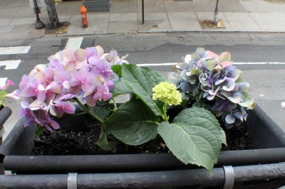 20120614_BalconyHydrangeas_06