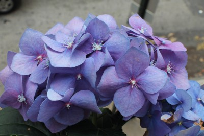 20120614_BalconyHydrangeas_07