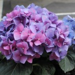 20120614_BalconyHydrangeas_08