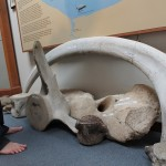 a whale rib, vertebra, and jawbone