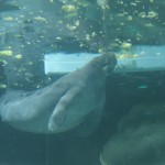 Two manatees who were injured by boat propellers now live here and graze to their hearts' content.
