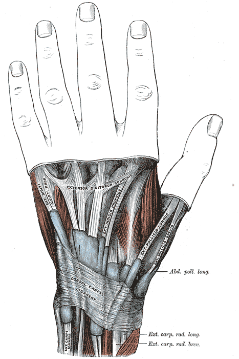 Note the tendons of the extensor pollicis brevis and abductor pollicis longus muscles, mnemonically known in anatomy class as the snuffbox.